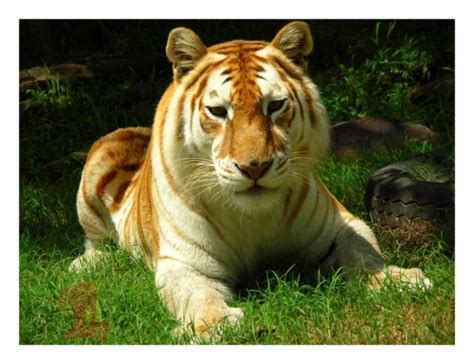 Amazing World The Golden Tabby Tiger