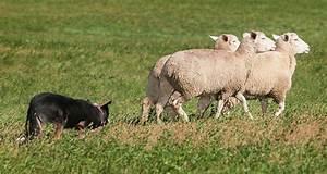 Top 10 herding dog breeds