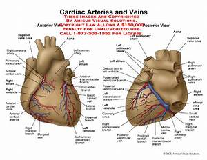 Amicus Illustration Of Amicus Anatomy Cardiac Arteries