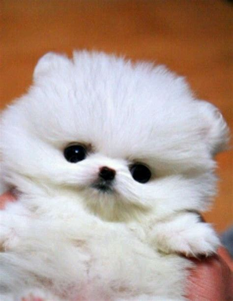 white teacup pomeranian cute teacup pomeranian micro