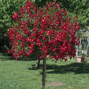 Arbres Fruitiers Nains En Pleine Terre : rosier tige pleureur 39 rouge meillandecor 39 meikrotal ~ Premium-room.com Idées de Décoration