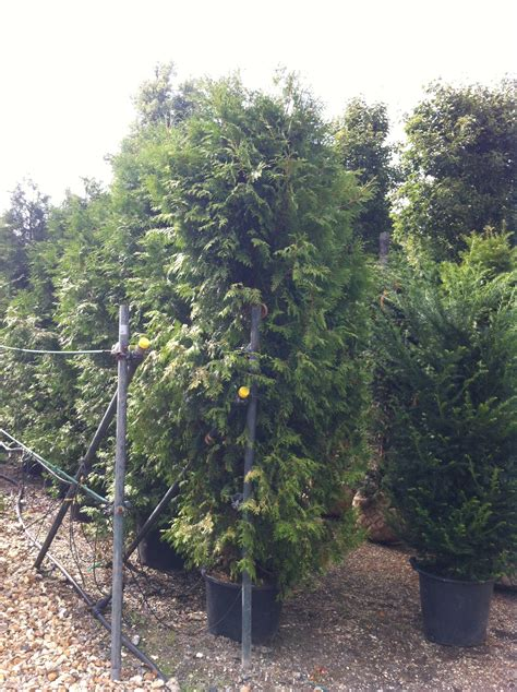 thuja occidentalis brabant thuja occidentalis brabant white cedar practicality brown