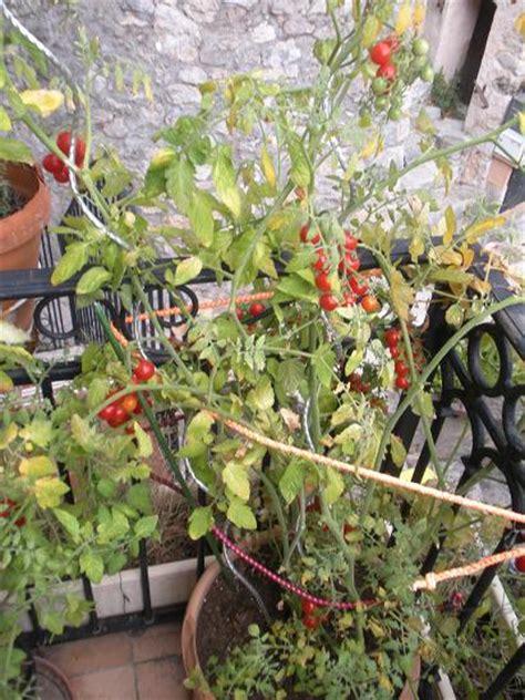 culture poivron en pot comment faire pousser des tomates cerises sur balcon