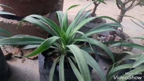 how to care for agave plant how to care agave plant hindi youtube