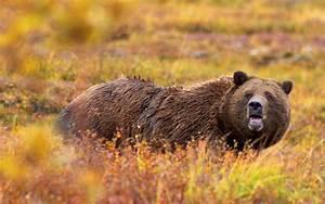 Ursus arctos horribilis - Wikipedia  Grizzly