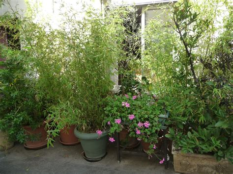botanique planter un bambou en pot bambous en pots maison bambou
