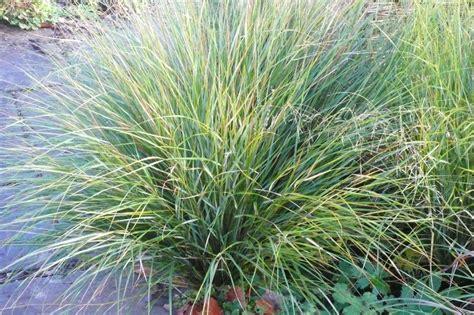 ornamental grasses ornamental grasses stillingfleet lodge gardens