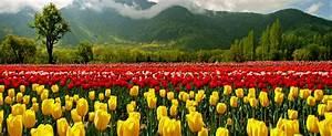 The gay parade tulip baree