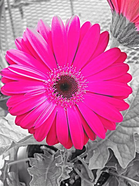 gerber daisy wallpapers  background pictures