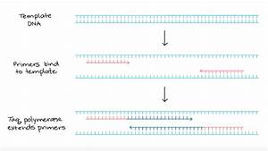 Polymerase Chain Reaction  Pcr   Article