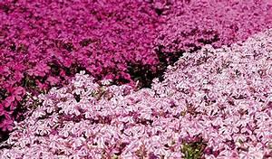 Couvre Sol Vivace : plantes vivaces couvre sol de a z ~ Premium-room.com Idées de Décoration