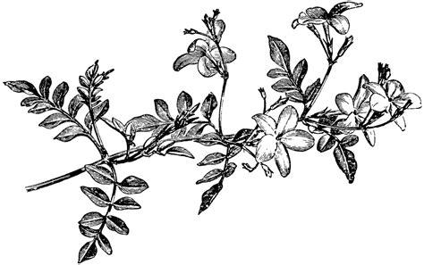 Jasmine Drawing Flower At GetDrawings.com