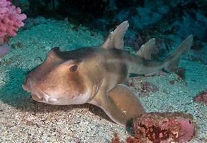 horn shark Gallery