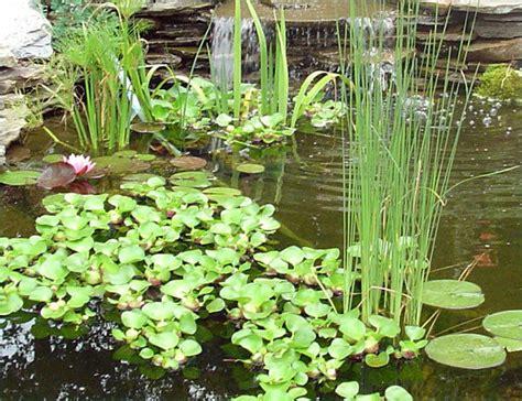 water garden plants live aquarium pond water garden plants anacharis