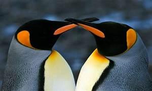 King Penguins   Photos   WWF