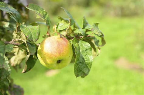 Manzana roja verde fruta madura en una rama de un manzano ...