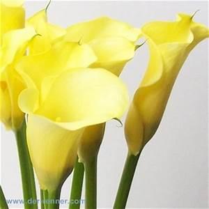 Calla Gelbe Blätter : calla in gelb captain memphis blumen f r hotel dekoration hochzeiten direkt vom ~ A.2002-acura-tl-radio.info Haus und Dekorationen