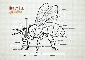 Honey Bee Anatomy  U0026 Lifecycle On Behance