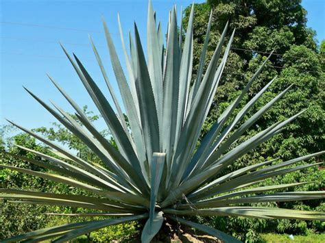 agaves plant agave tequilana blue agave tequila agave world of succulents