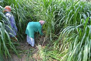 Crop Production::Forage Crops::Cumbu Napier