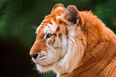 Golden Tabby Tiger Strawberry With