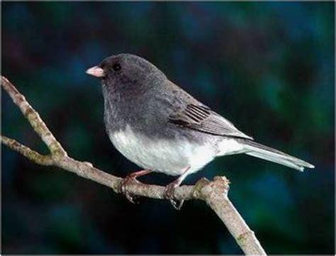 juncos are common fall migrants backyard bird lover
