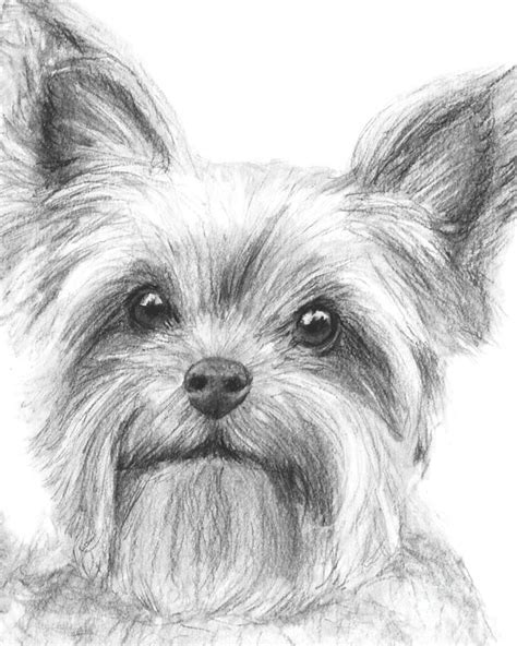 yorkshire terrier drawing drawing  kate sumners