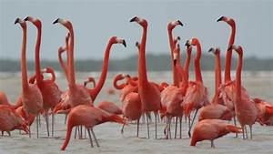 Pink Flamingo Wild Life Mexico Birds 8 by dubassy | VideoHive