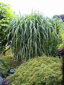 Balkonpflanzen Sonnig Winterhart : 4 x riesen chinaschilf winterhart miscanthus giganteus ~ Michelbontemps.com Haus und Dekorationen