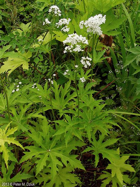 napaea dioica glade mallow minnesota wildflowers