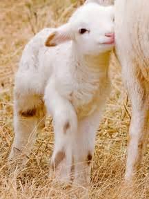 Baby Lamb Sheep