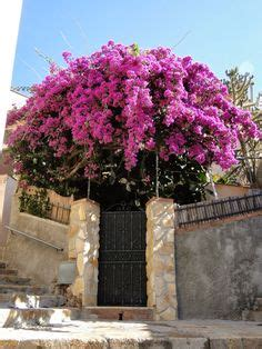 bougainvillea images   beautiful flowers