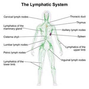 LymphaticSystem_Female  Immune System Lymph Nodes