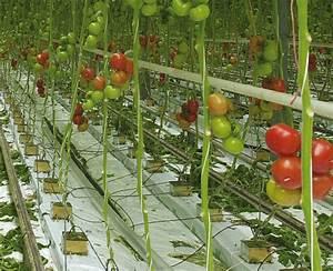 Arrosage Des Tomates : tomates et concombres en marche vers l agriculture durable ~ Carolinahurricanesstore.com Idées de Décoration