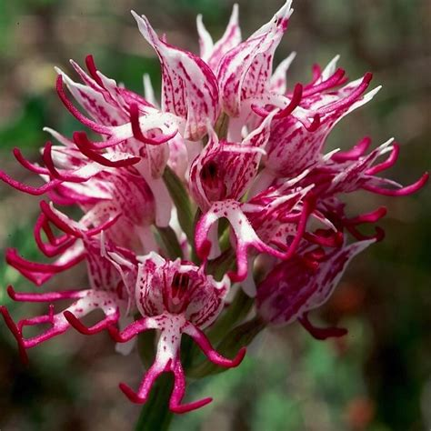 Orchis Italica Seeds, 100pcs/pack - GreenSeedGarden