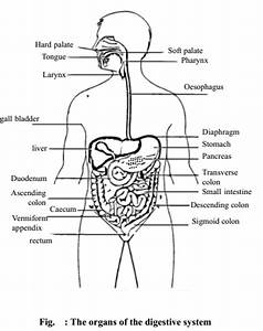 Functions And Structure Of Digestive System