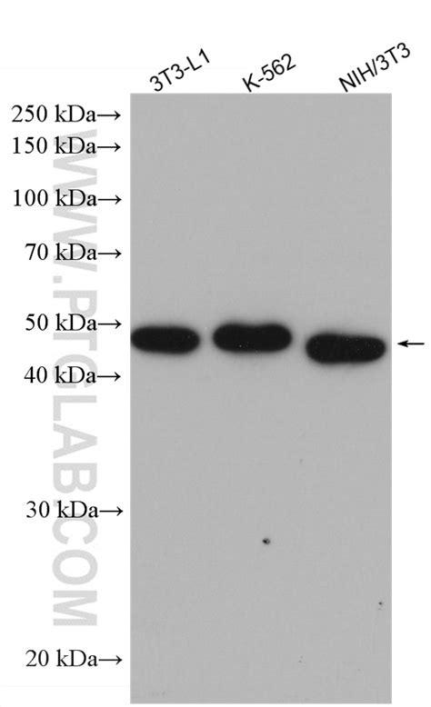 ADRP/Perilipin 2 Antibody 15294-1-AP | Proteintech