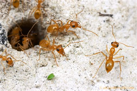 Common Species Of Ants That Are Found In Your Residents