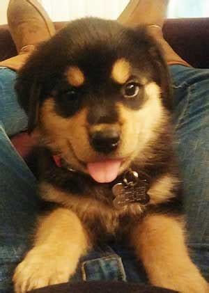 What To Expect From The Rottweiler Golden Retriever Mix