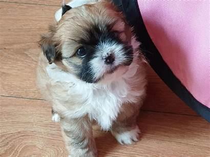 Breed Shiranian Puppy Puppies Breeds Weeks Pets4homes