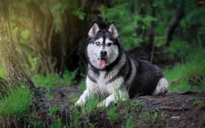 Huskies Husky Siberian Dog Imagebank Biz