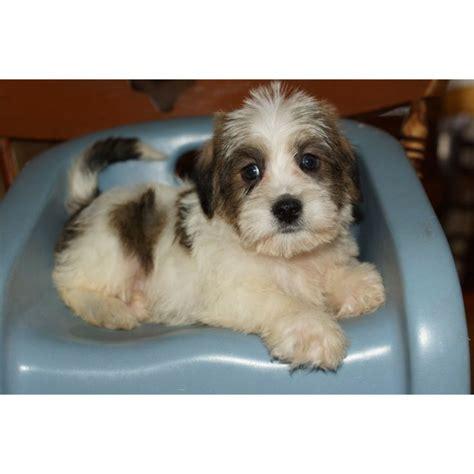 schapso puppies  sale bing images puppies sweet