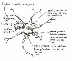 File Neuron Resting Potential Jpg