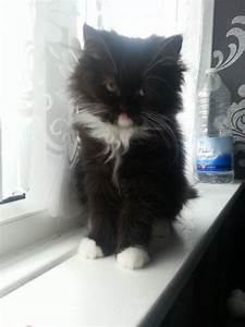 Pure black and white persian kitten | Bolton, Greater ...