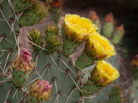 Prickly Pear Cactus Hgtv