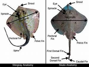 Skate  U0026 Ray Anatomy  U2013 Discover Fishes