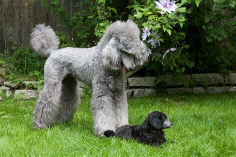 litter   violet standard poodles happiness