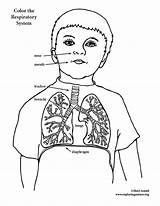Respiratory System Coloring Lungs Colouring Drawing Pages Elementary Anatomy Sketch Pdf Getdrawings Template sketch template
