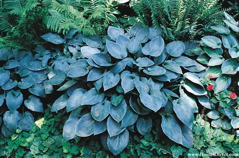 Blue Hostas, Blue Hosta Plants  Learn About Blue Hosta Plants