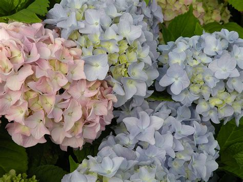 how to prune hydrangeas in the when and how to prune hydrangeas garden making